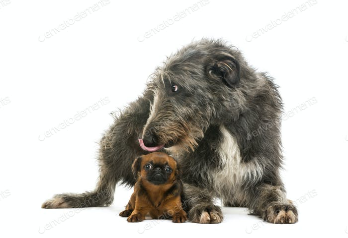 Scottish Deerhound lying and licking the head of a Petit Brabancon lying, isolated on white
