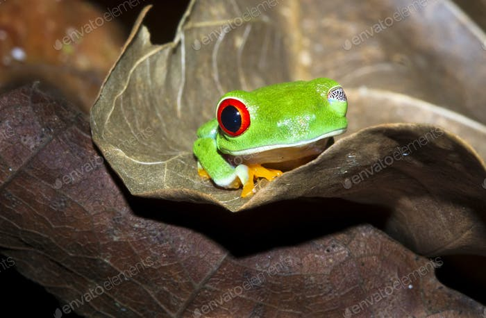 Red-eyed Treefrog Winking in Costa Rica