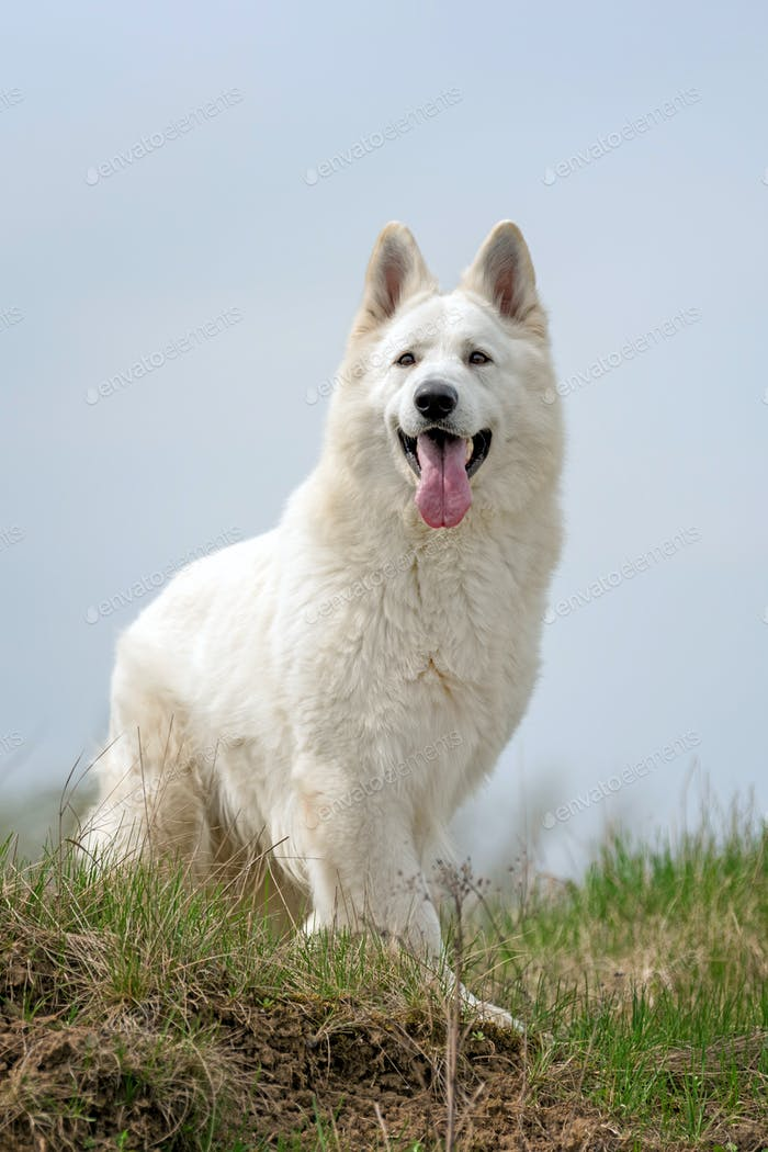 Berger Blanc Suisse White german shepherd