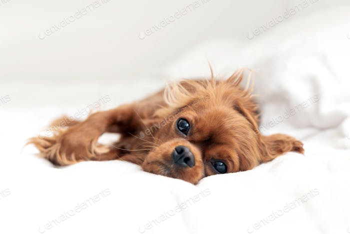 Cute puppy of cavalier spaniel napping