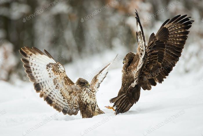 Zwei gemeinsame Bussarde kämpfen mit Flügeln auf Schnee im Winter