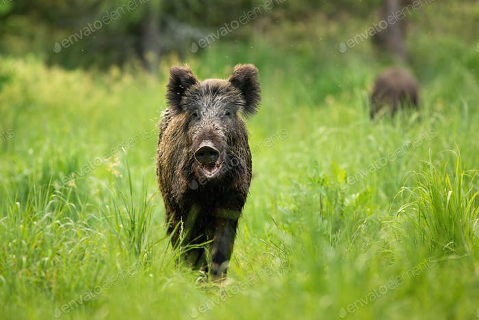 Threatening wild boar standing on a clearing with mouth open in summer