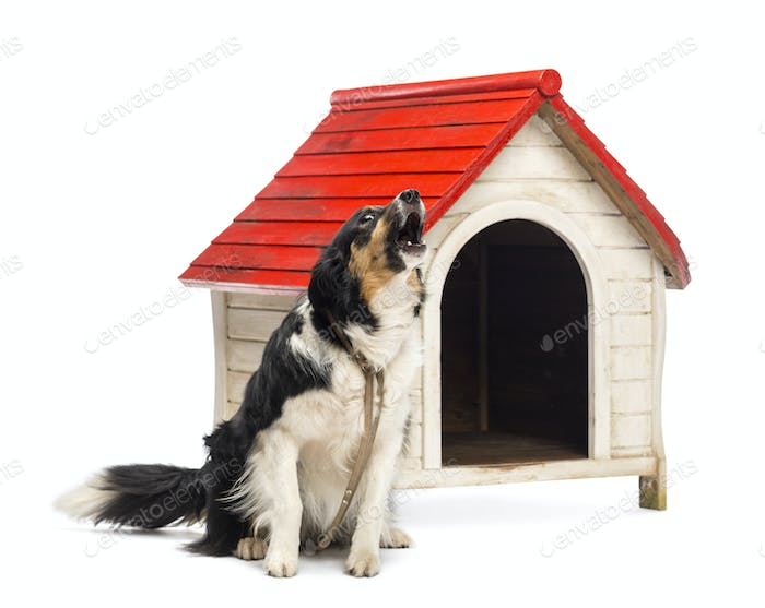 Border Collie tied and barking next to a kennel against white background