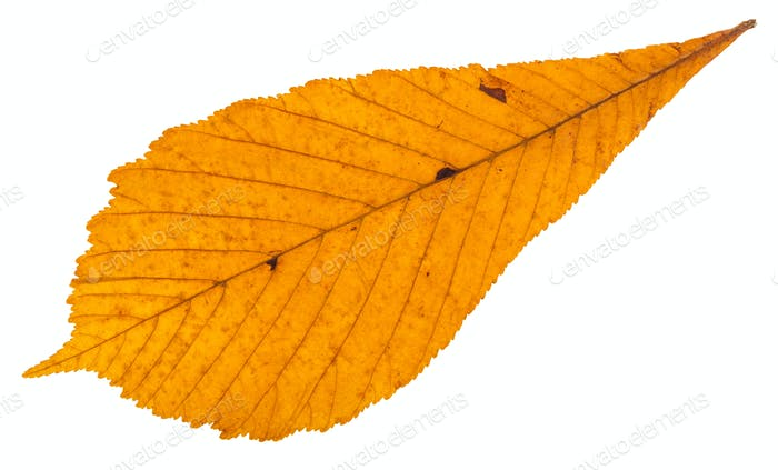 dried autumn leaf of horse chestnut tree isolated