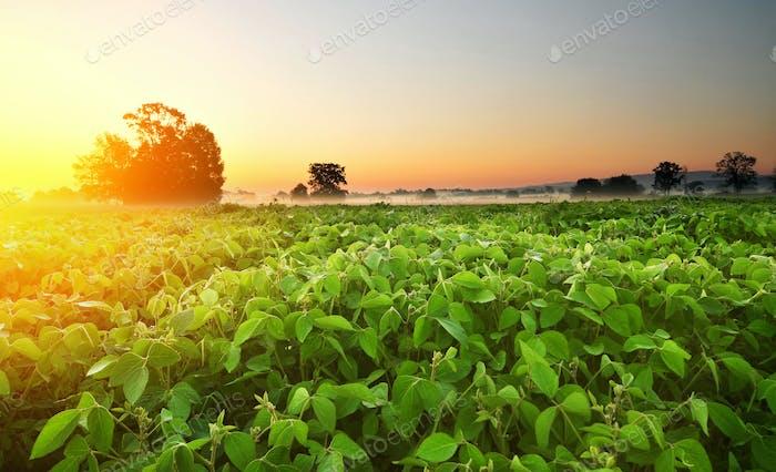 Sojabohnenfeld am frühen Morgen