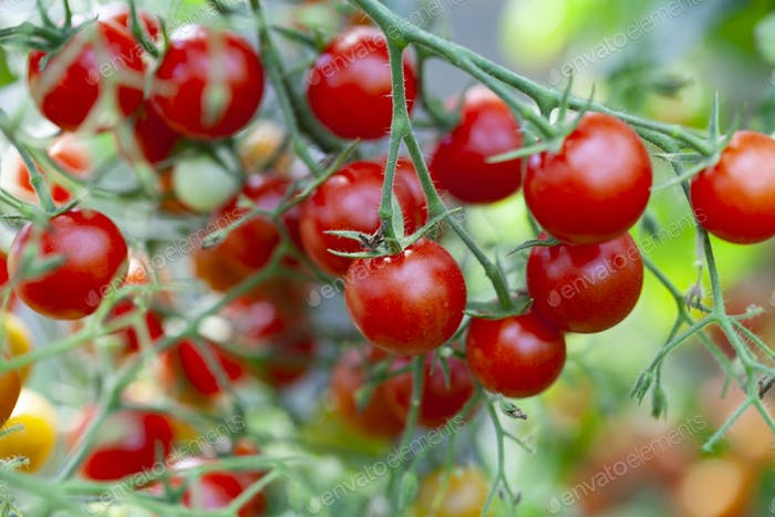 Tomatoes on Green Plant