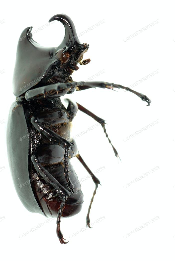 rhino hercules  beetle