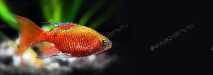 Tropical aquarium fish longtail barb Pethia Conchonius.