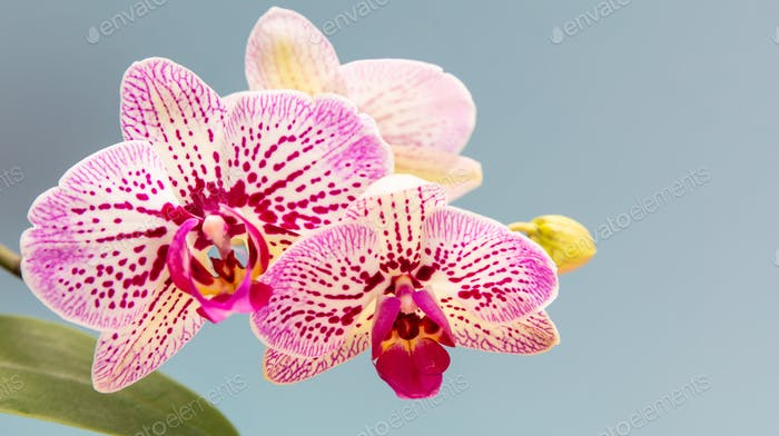 Orchids flowers purple white color closeup on pastel blue