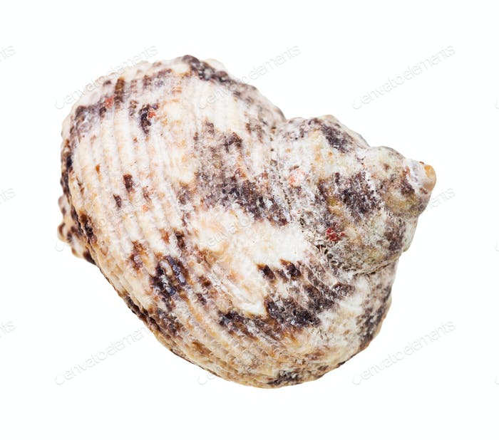 conch of whelk mollusc isolated on white