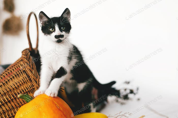 Cute kitty standing on pumpkin at cozy wicker basket and zucchini