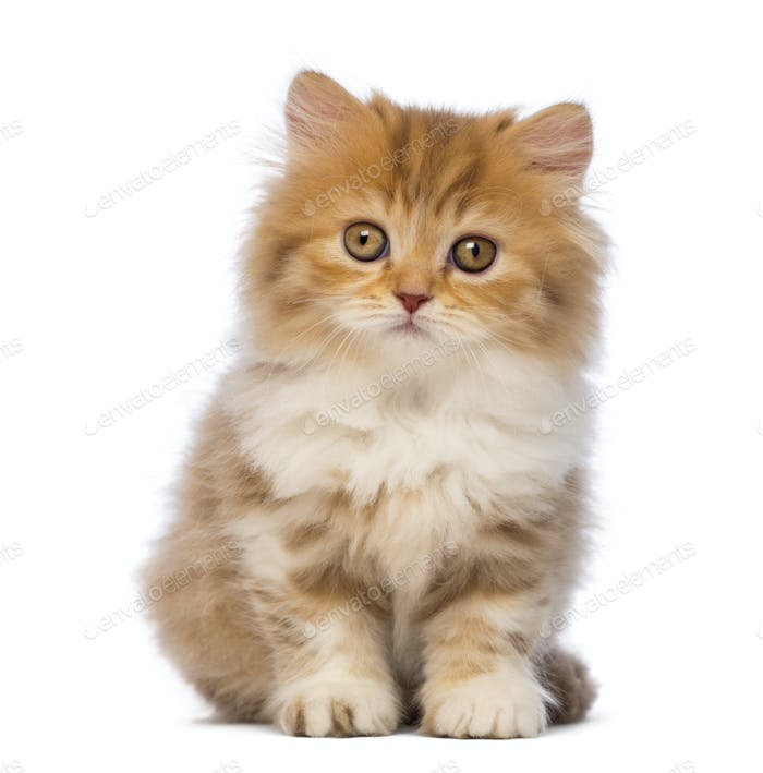 British Longhair kitten, 2 months old, sitting and looking at the camera