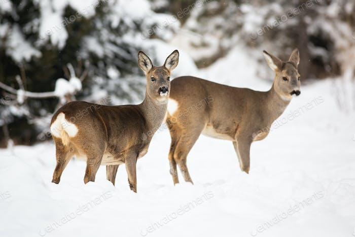 A pair of shy roe deer posing on the snowy cover of the forest meadow