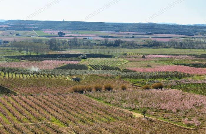 Flowering field of peach trees in Lleida