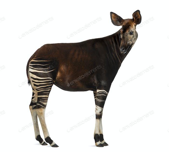Seitenansicht eines Okapi rückblickend, Okapia johnstoni, isoliert auf weiß