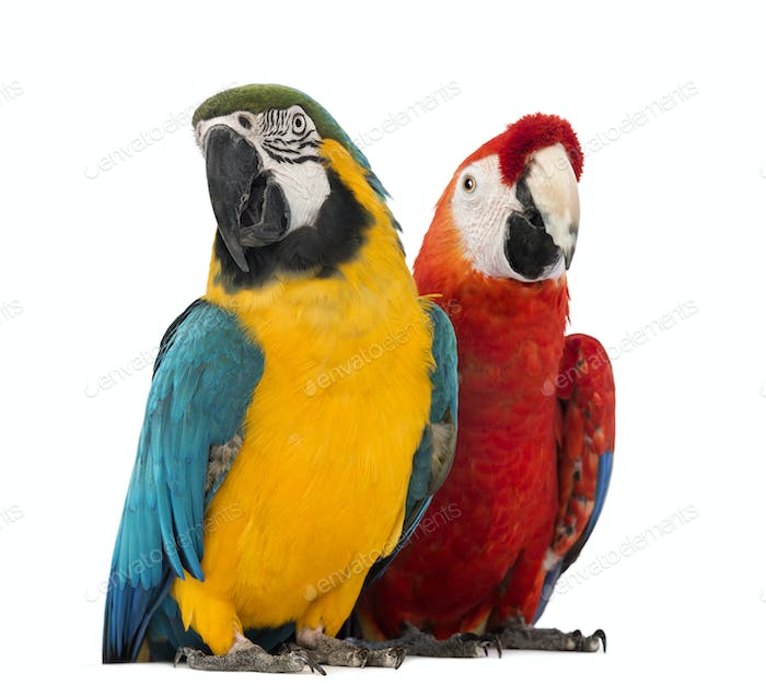 Blue-and-yellow Macaw, Ara ararauna, 30 years old, and Green-winged Macaw, Ara chloropterus, 1 year