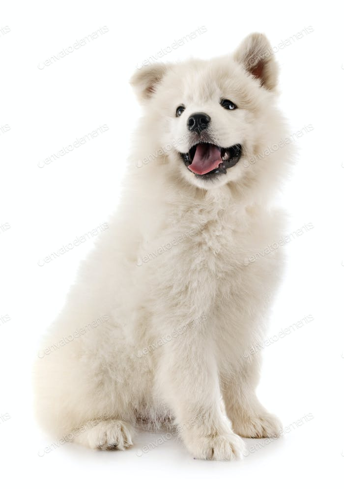 puppy samoyed dog in studio
