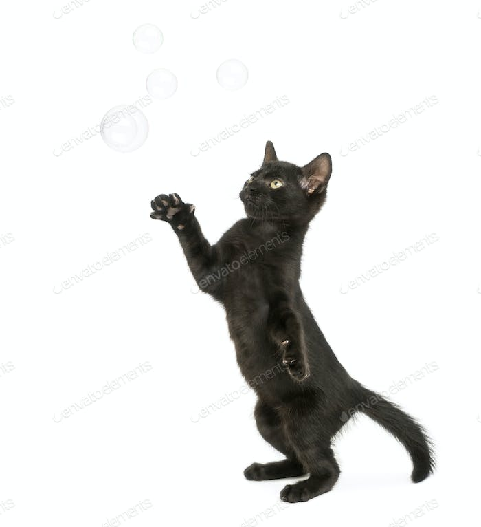 Black kitten standing on hind legs, reaching at soap bubbles, 2 months old, isolated on white
