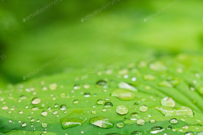 Rain water dew drops on leaf