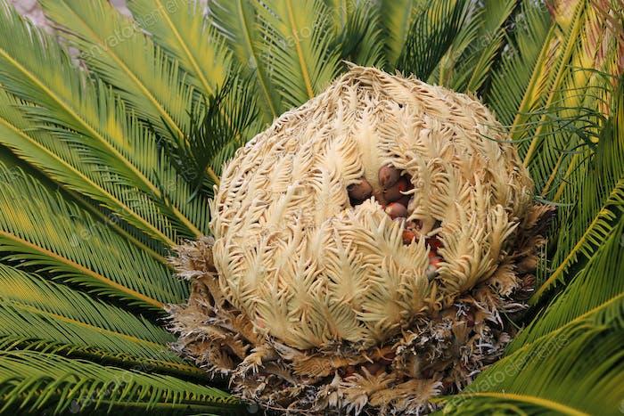 Kegel mit Früchten der weiblichen Cycas revoluta cycadaceae sago palme