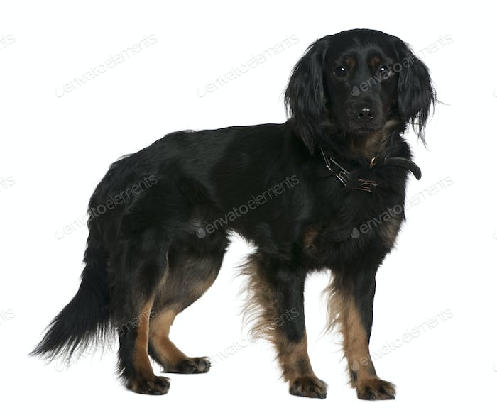 Mixed-breed dog, 3 years old, standing in front of white background