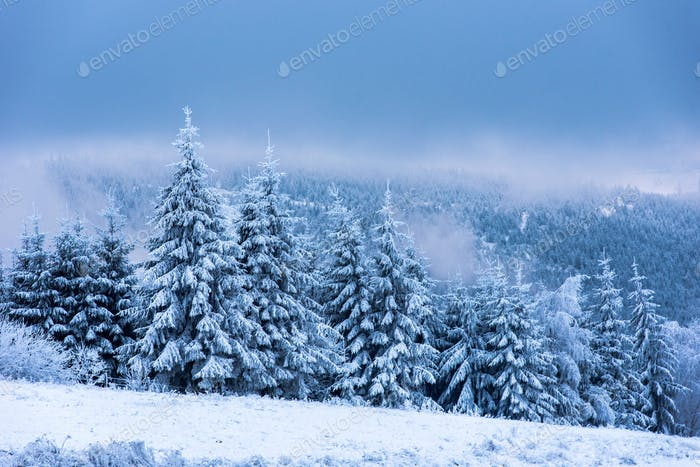 Winter landscape with snowy fir trees and forest