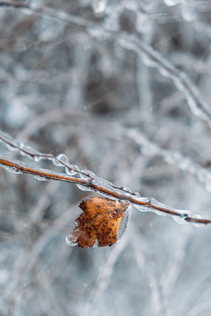 Freezing Rain, Icing Hazards. Frozen tree branch in winter city. Icy tree branches close-up. Icing
