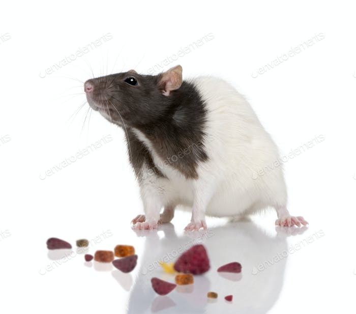 Rat, 1 year old, standing in front of a white background with food, studio shot