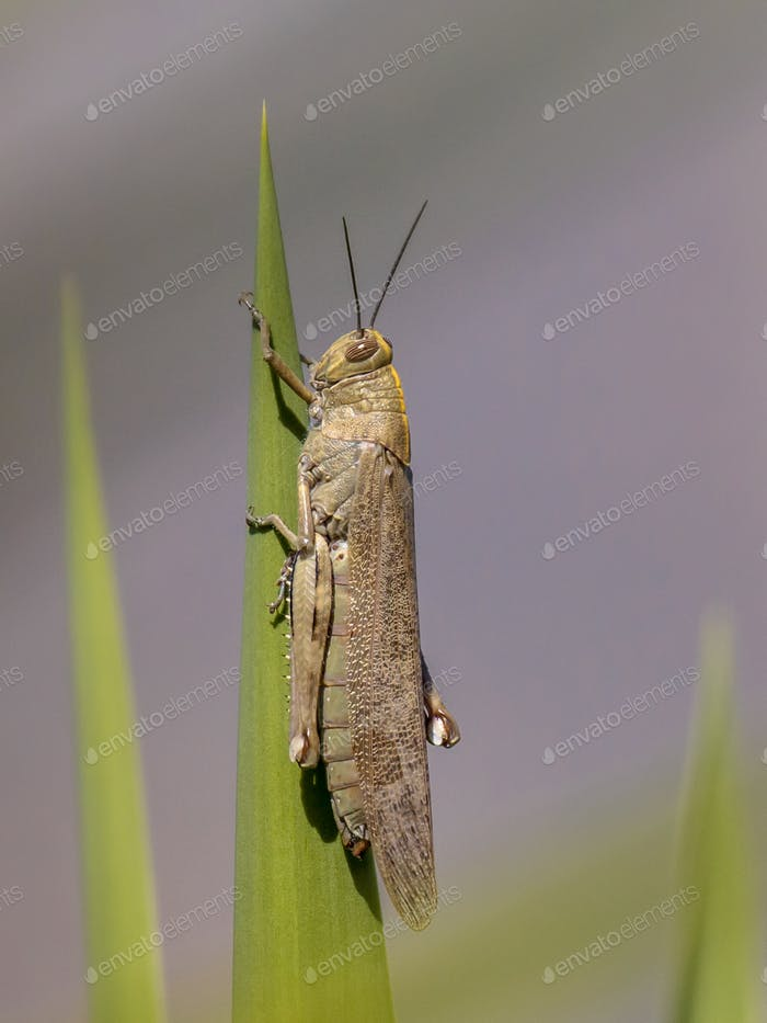 Migratory locust perched on plant