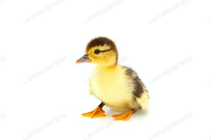 One duckling isolated on a whiteground.