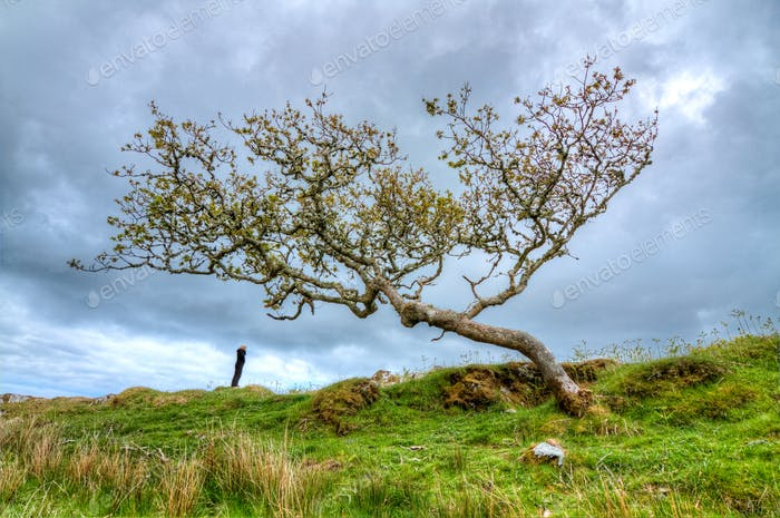 Person Under a Windswept Tree in Scotland