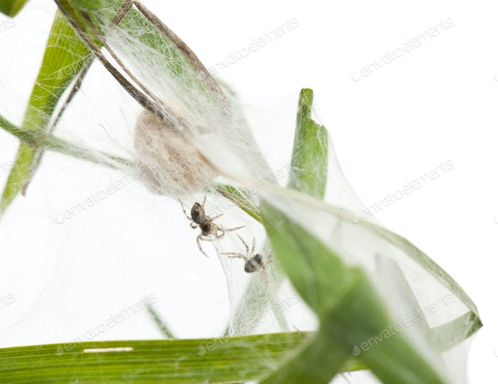 Nursery web spider, Pisaura mirabillis, spiderlings in nest in front of white background