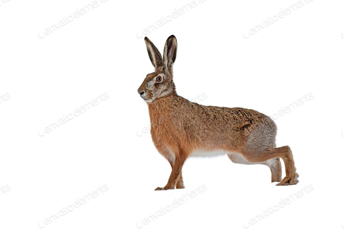 European brown hare isolated on white background