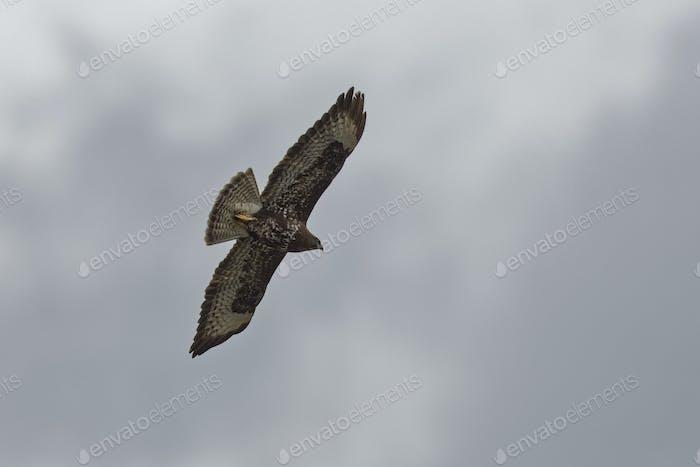 Schlangenadler, Circaetus gallicus, Short-toed Snake Eagle