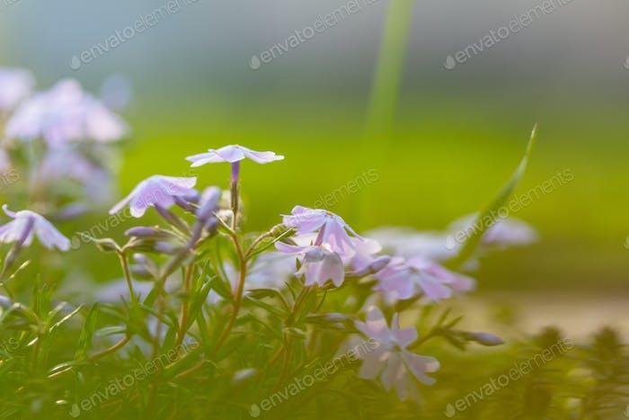 Blütenblume