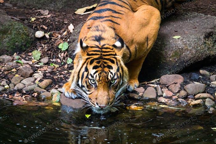 Sumatran Tiger Drinking at a River
