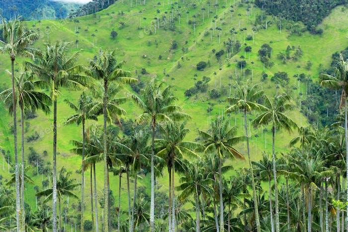 Wax Palm Trees View