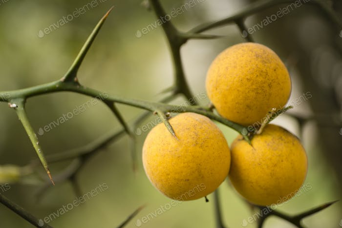 Fruits and flowers of trifoliate orange tree