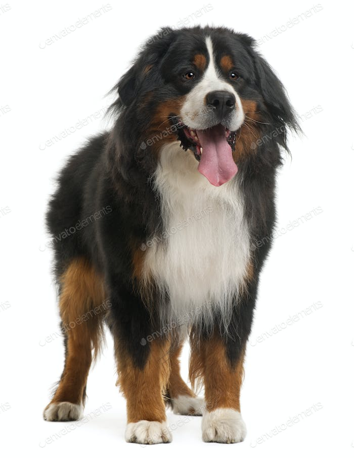 Bernese Mountain Dog, 3 years old, standing in front of white background