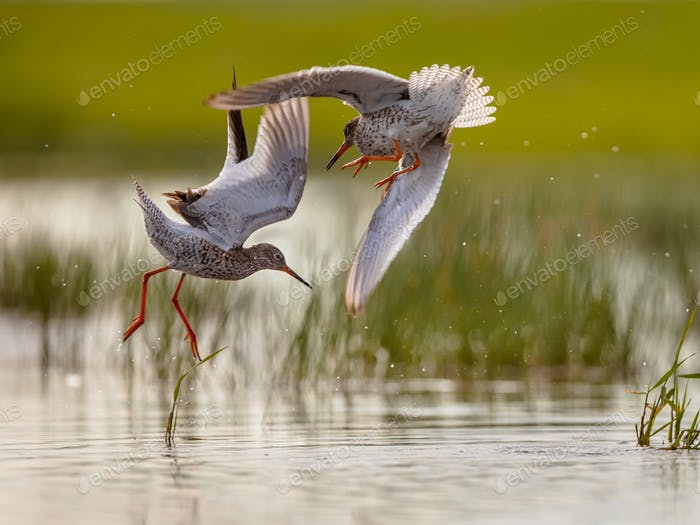 Two Male Common Redshank in conflict