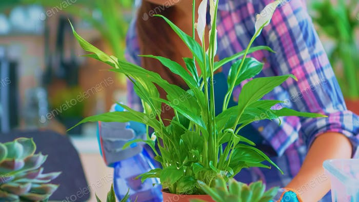 Closeup of spraying houseplant