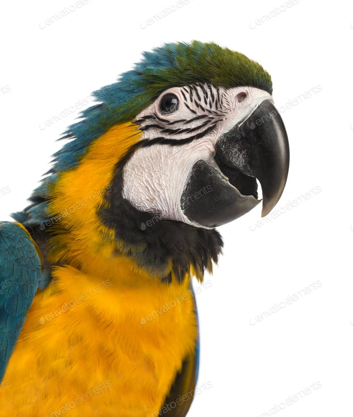Close-up of a Blue-and-yellow Macaw (14 weeks old) isloated on white