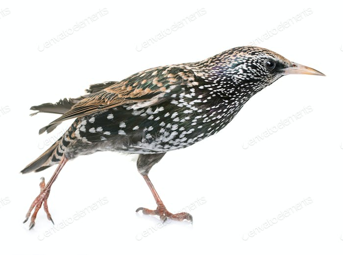 Common starling in studio