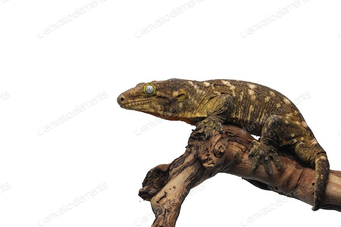 New Caledonian giant gecko isolated on white background