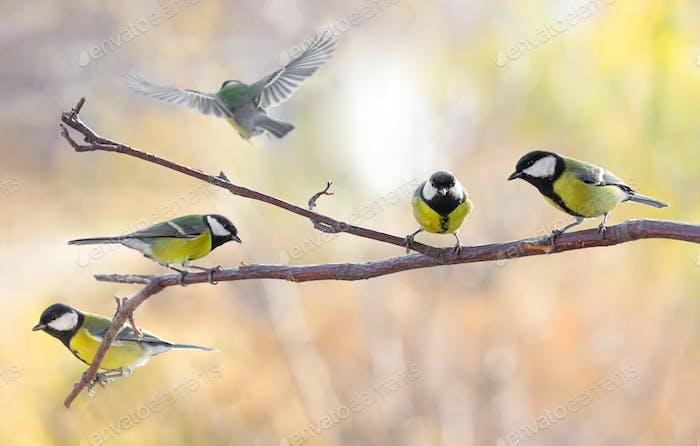 Several Great tit on a branch on a blurred background.