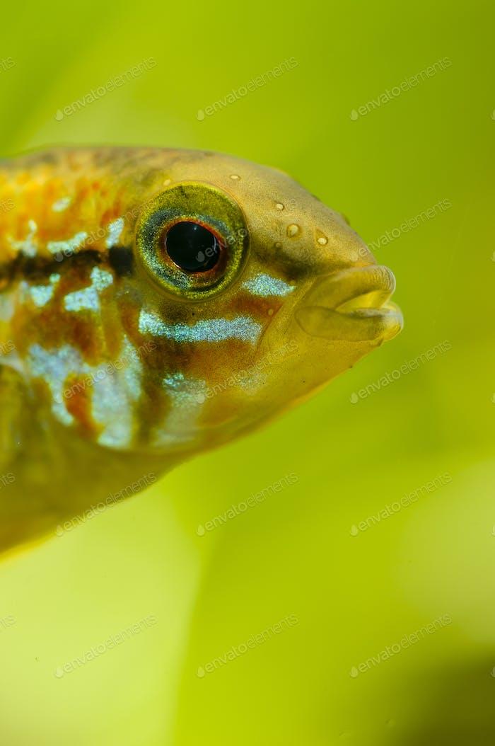 Detail of head of Apistogramma fish