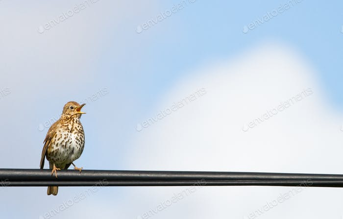 Hebridean Song Thrush Perched on a Power Line in Scotland