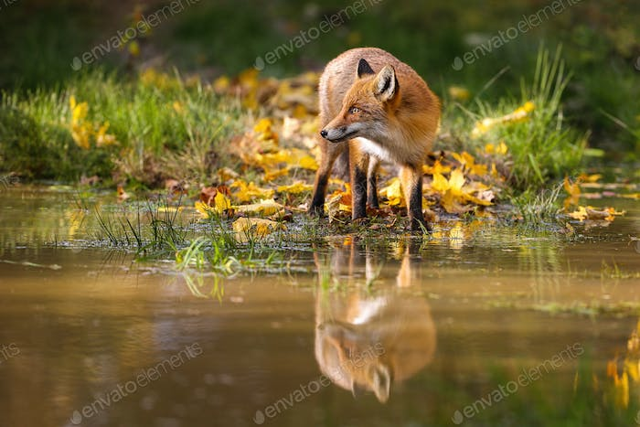 Red fox standing on riverbank in color autumn nature