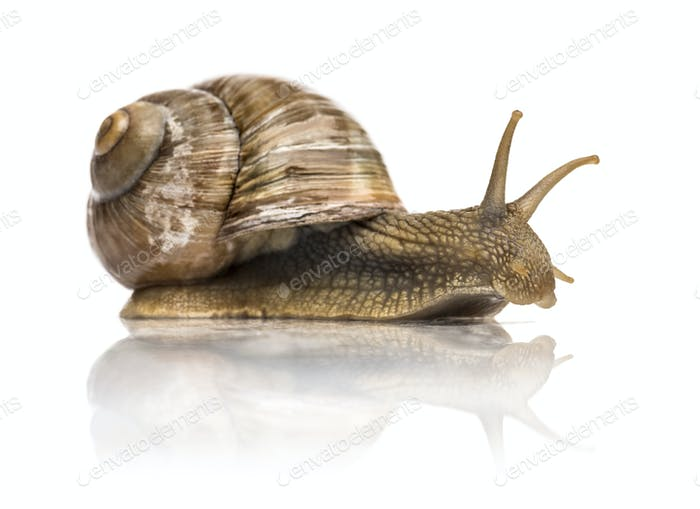 Crawling common snail, Burgundy snail or edible snail, isolated