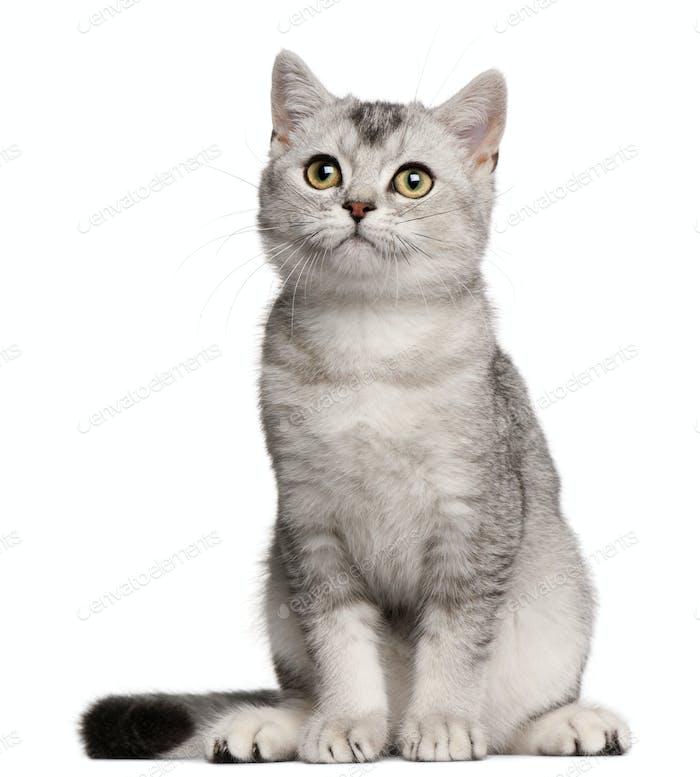 British Shorthair kitten, 4 months old, sitting in front of white background